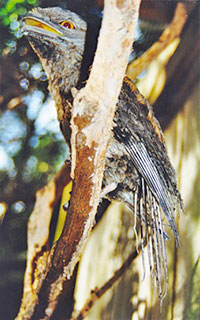 imping-tawny-frogmouth-1