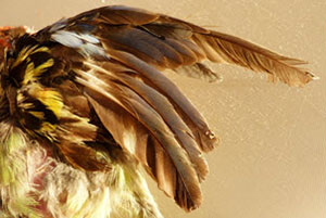 feather-disease